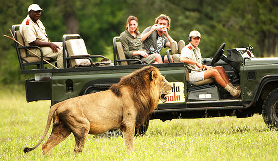 See lion on a guided game drive safari in Mala Mala Game Reserve.